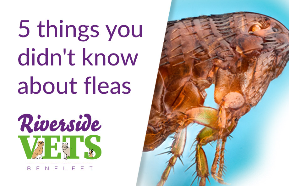 Fleas and your pets